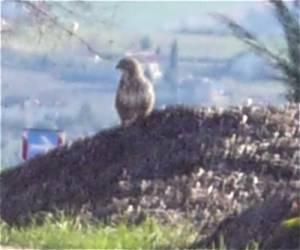 A buzzard perches on oiur compost heap