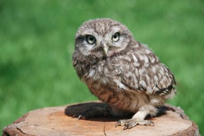 An Abruzzo Owl. Little - but loud !