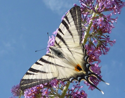 Buddleja is a magnet for butterflies - like this beautiful Swallowtail