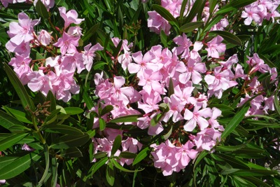 Five foolproof shrubs for an italian garden villasfor2 oleander offers pink white or blood red flowers from spring until autumn mightylinksfo