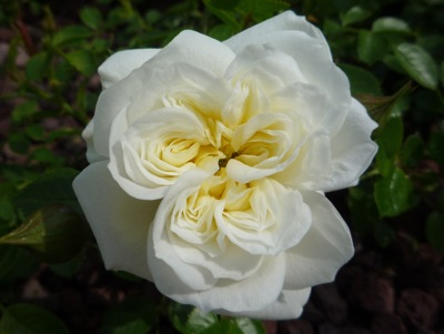 The variety of roses available make it a must-have in any Italian garden