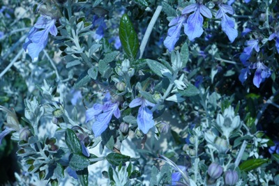 Steely blue leaves and flowers on this foolproof Teucrium
