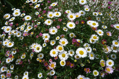 Mexican Daisy - a perfect groundcover plant in the Italian garden