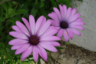 Osteospermum. A foolproof flower for an Italian garden
