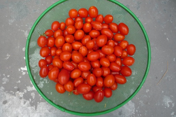An Itaalian dwarf plum variety