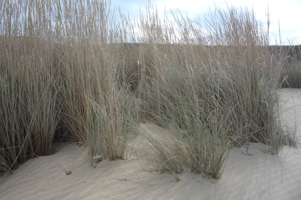 Sand dunes, held together by wiry sea-grass