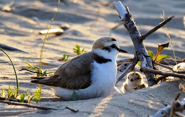 A Kentish Plover and chick