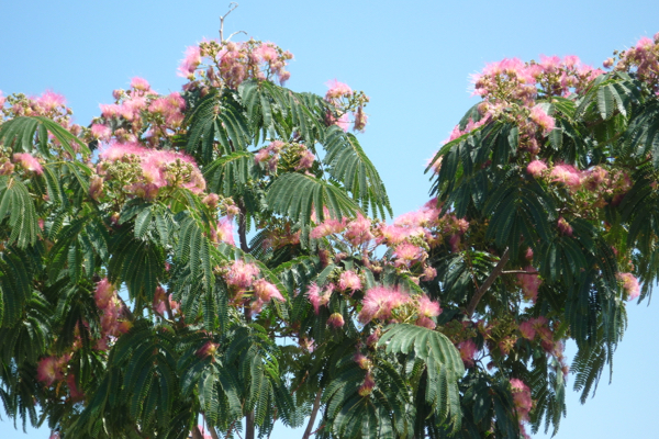 Albizia has feathery leaves and fluffy flowers !