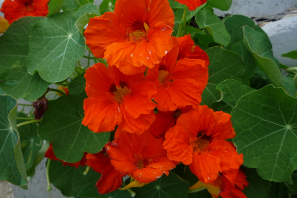 Nasturtium's are easy and reliable - and fun for kids to plant !
