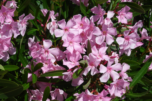 Oleander - virtually guaranteed to fourish in hot, dry conditions