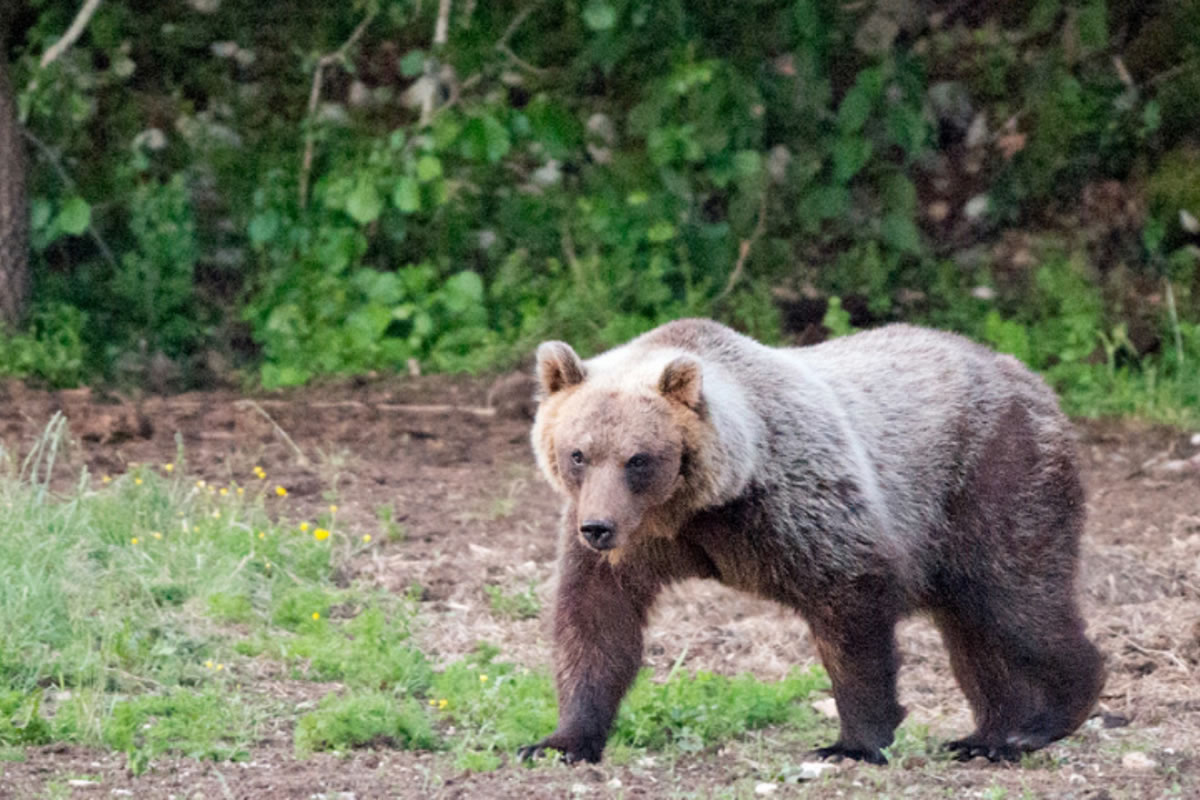 Endangered Marsican Brown Bear in the Abruzzo National Park