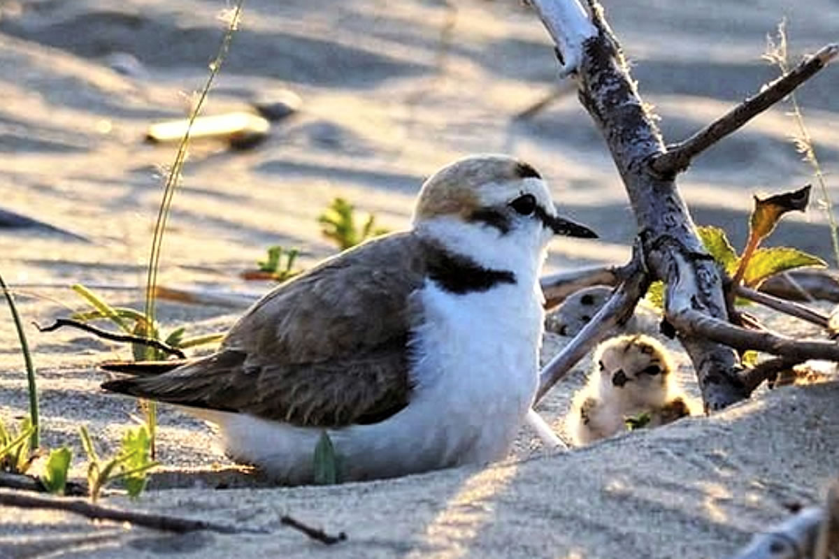 A Kentish Plover - and chick - at Punta d'Erci