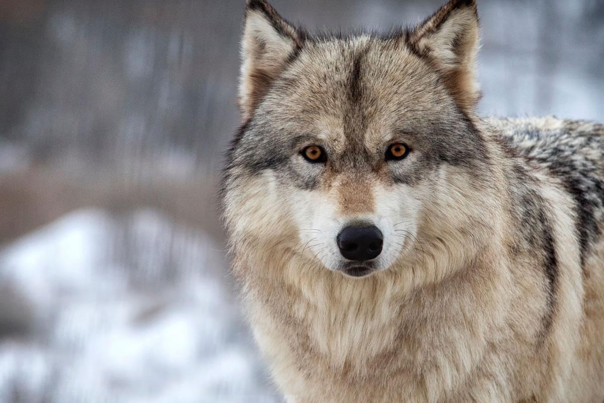 Apennine Wolf - symbol of the Majella National Park