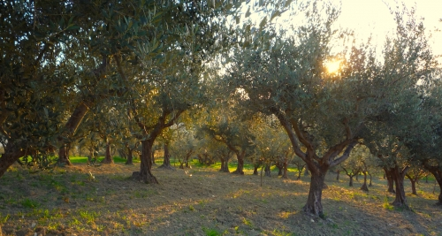 Olive grove on Christmas morning